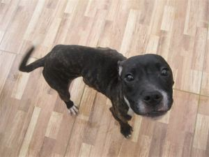 Buttons - One of four horrifically malnourished puppies rescued