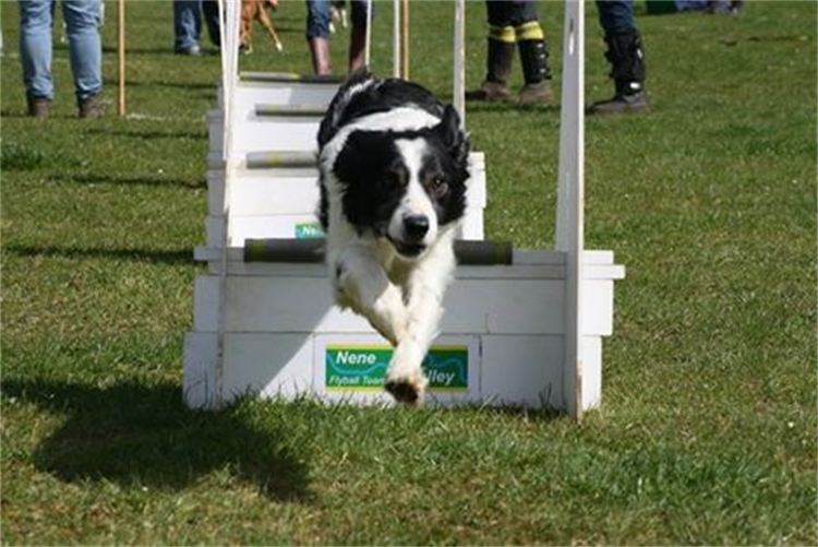Hector the Flyball Star