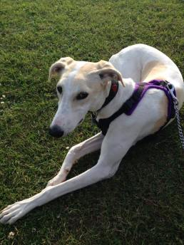 CHLOE (February 2015) the loony lurcher who loves her cuddles when she's briefly stopped leaping and charging round at 100mph. Joined us on 26th Feb 2015.