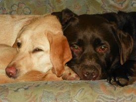 """BUSTA and SIOUXSIE (2008) """"Came to live with us 8 years ago. They are the best dogs anyone could ask for. They are so relaxed and calm and we love them to bits!! Thank you Wellidogs x"""" WelliMum, Niah"""