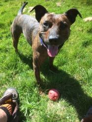 ARWIN (27th December 2014) came to his new home in South Devon on 27.12.14. Here he is with his ball in the sunshine.