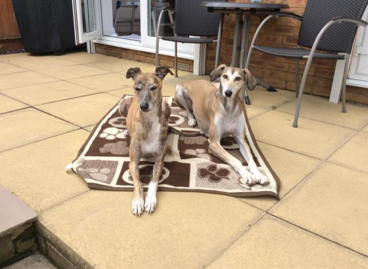 """CHARLIE (September 2015) """"I'm proud to say I'm a failed foster! I think Charlie on the left of the photo with his new best mate, another rescue Seb is probably very pleased that I failed 😜😜"""" WelliMum, Gloria"""
