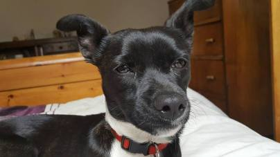 """LUCY (October 2015) """"Lucy (was pixie) one of puppies in crates last October. Very chilled and happy little lady."""" Wellimum, Karen"""