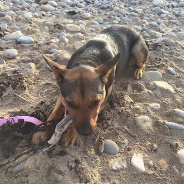 PENNY (July 2015) We adopted Penny on July 7th 2015. The Adorable Penny on Hartlepool beach , part of her first family holiday on The Great North run weekend.