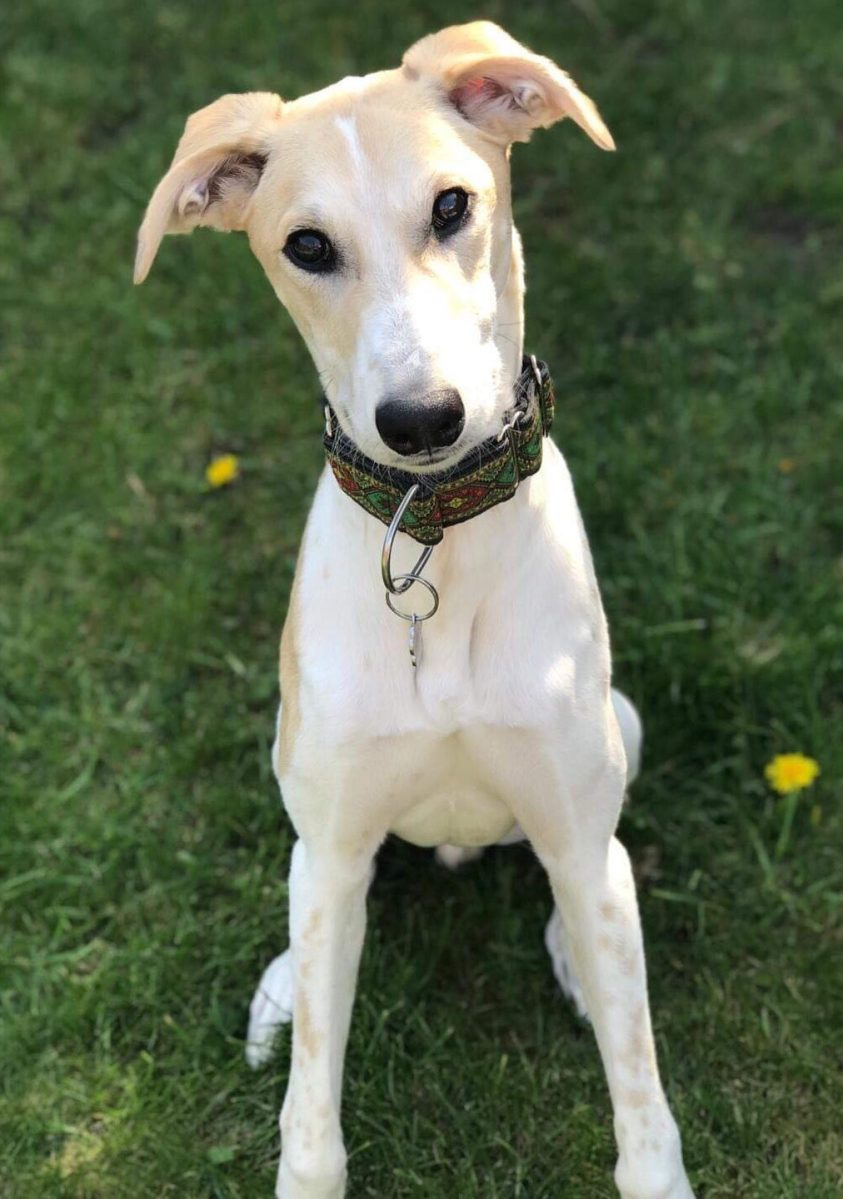 GEORDIE – Whippet X – 8 Months Old – Wellingborough Dog ...