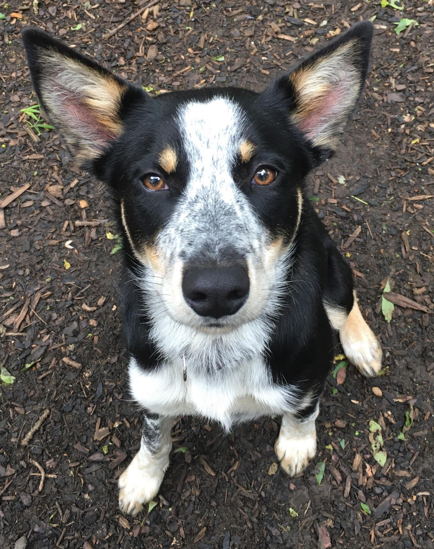 Pip Collie 6 to 10 Months Old looking for a home